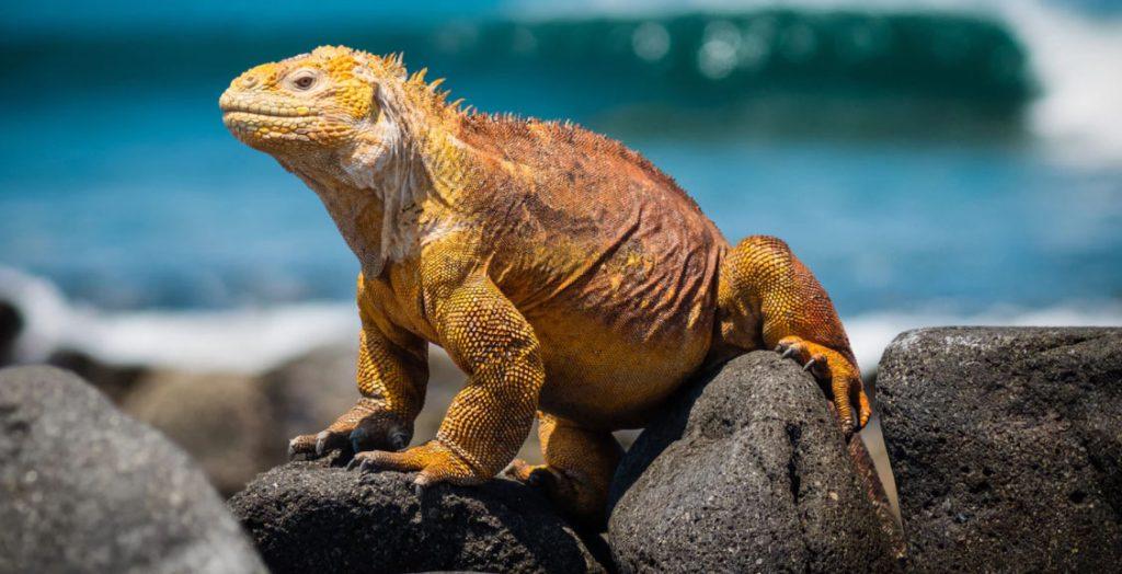 galapagos-lizard